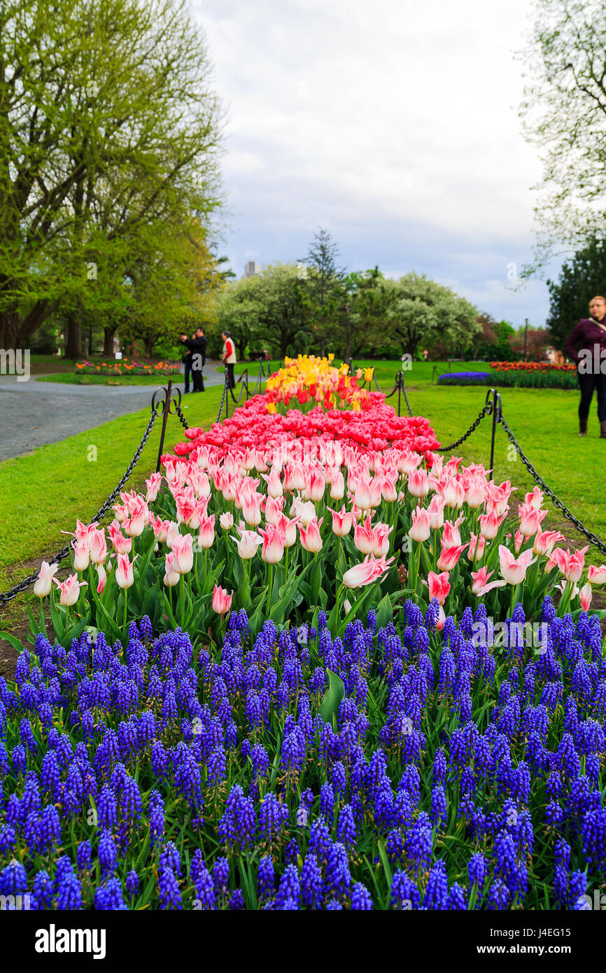 Families And Couples Enjoying Springtime In Albany NY At Washington Park.  Tulips Of Read, Orange, Yellow, White, Pink, Purple On Display With Blue Bel