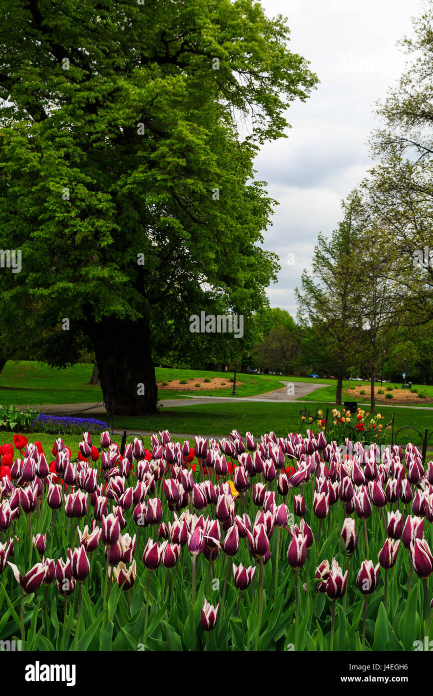 Springtime In Albany NY At Washington Park. Tulips Of Read, Orange, Yellow,  White, Pink, Purple On Display With Blue Bells.