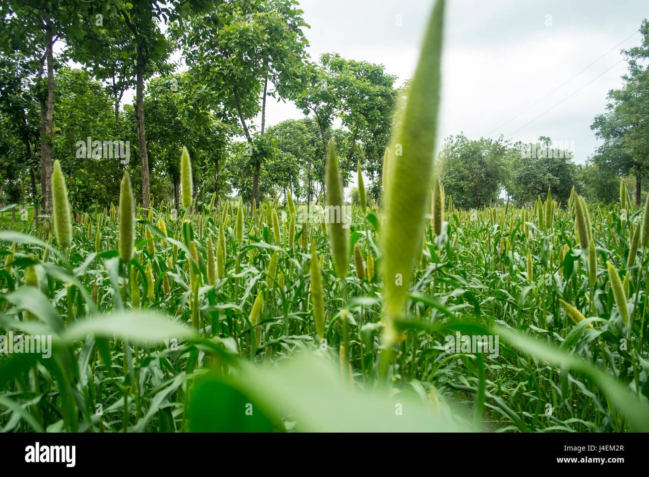 Millet fields in Aurangabad, Maharashtra India - Stock Image