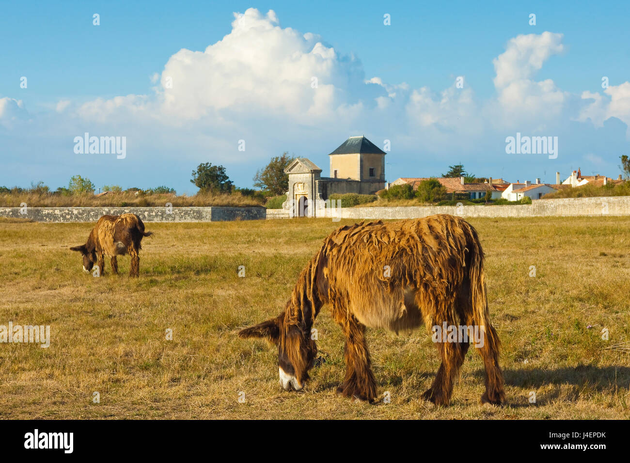 Woolly donkeys, a rare type (Baudet du Poitou) once used to carry salt, St. Martin de Re, Ile de Re, Charente-Maritime, - Stock Image