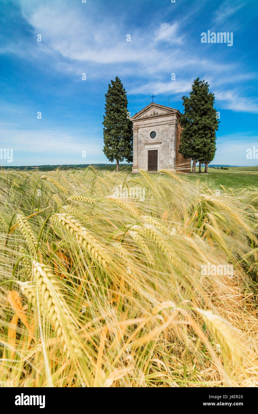 Fields of ears of corn on the gentle green hills of Val d'Orcia, UNESCO World Heritage Site, Province of Siena, - Stock Image