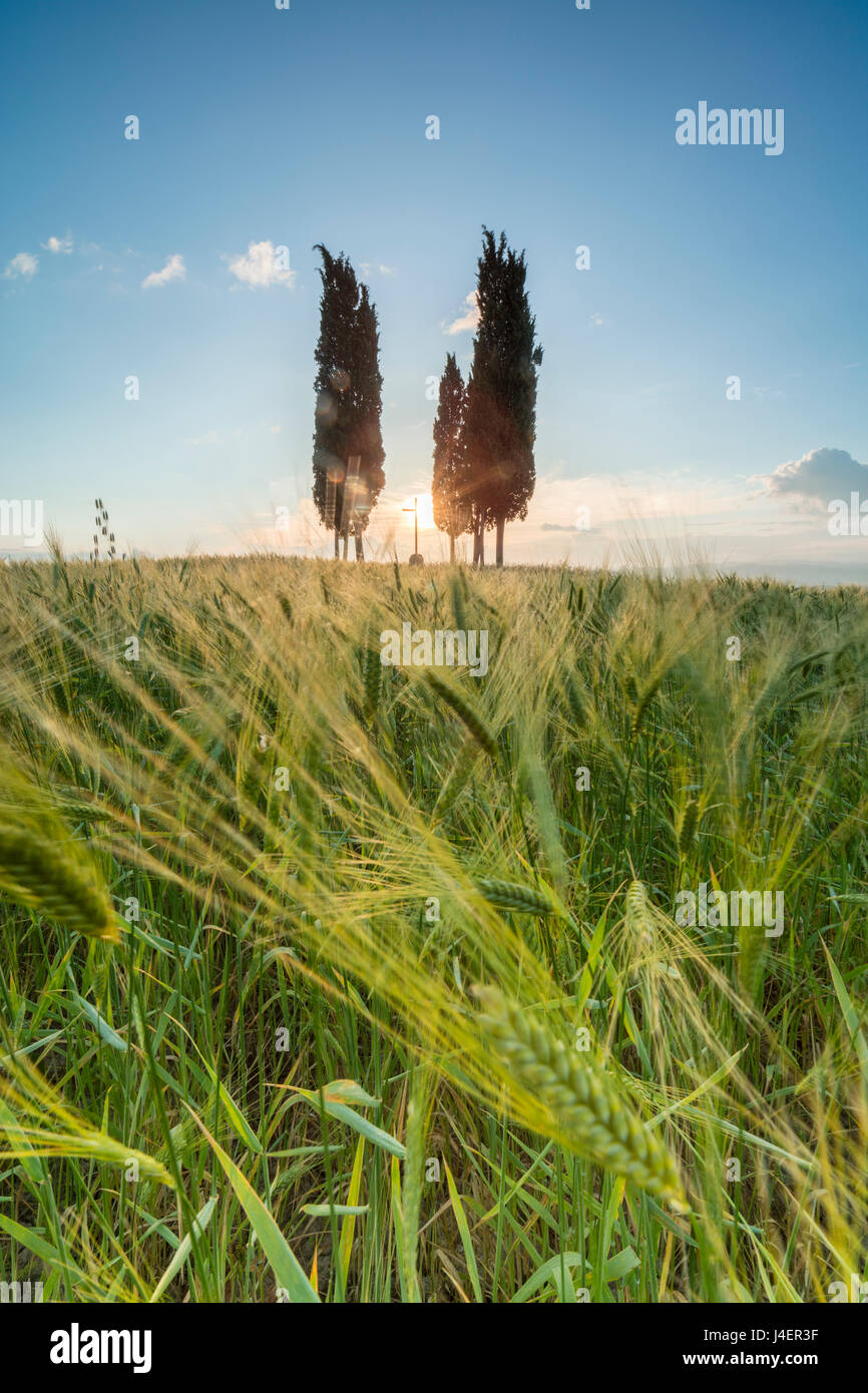Fields of ears of corn and cypresses on the gentle green hills of Val d'Orcia, UNESCO, Province of Siena, Tuscany, - Stock Image