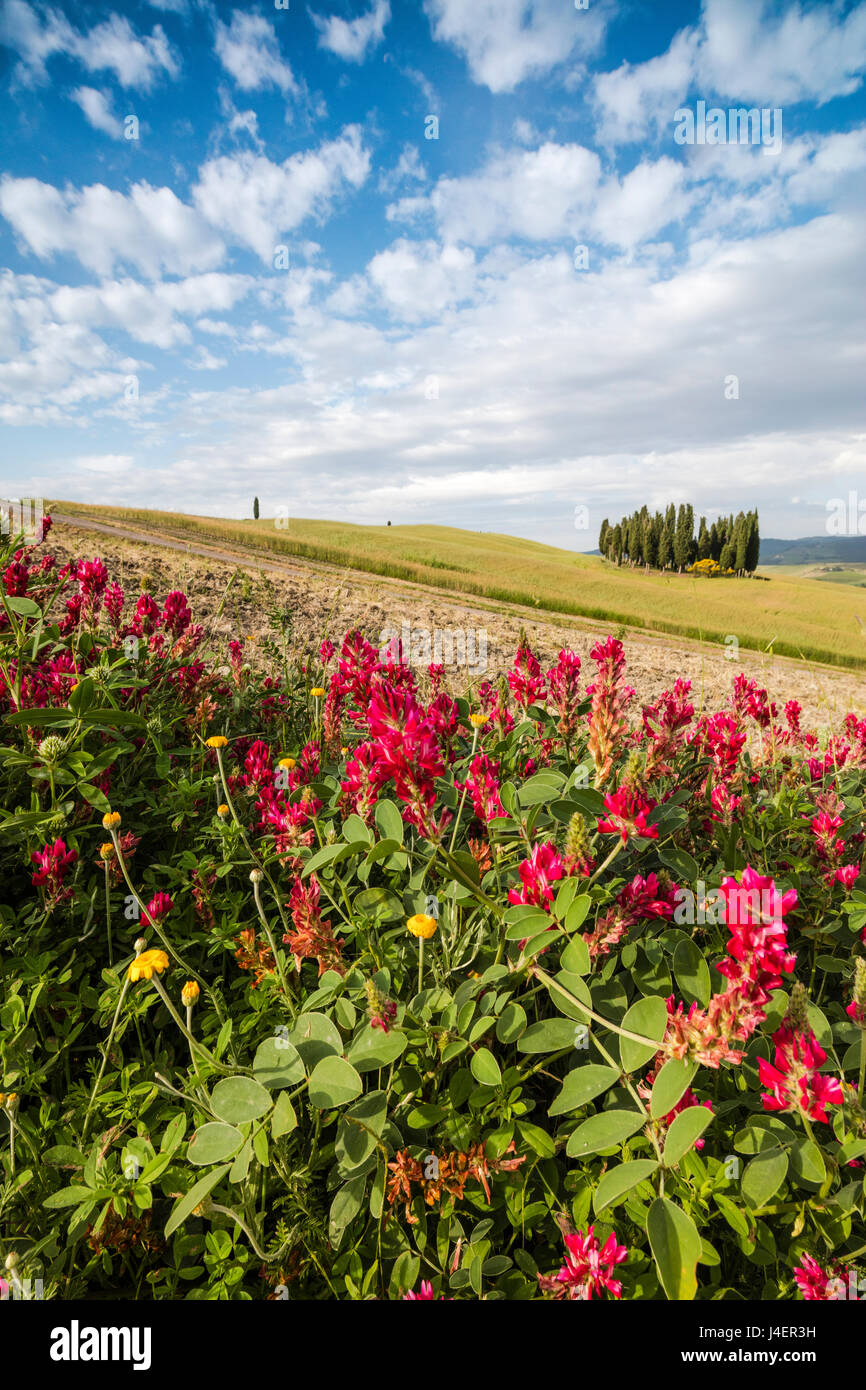 Red flowers frame the gentle green hills of Val d'Orcia, UNESCO World Heritage Site, Province of Siena, Tuscany, - Stock Image