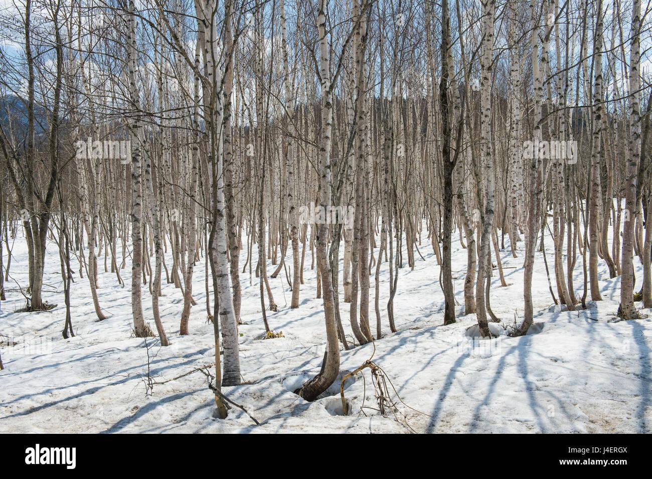 Birch tree forest, Furano, Hokkaido, Japan, Asia - Stock Image