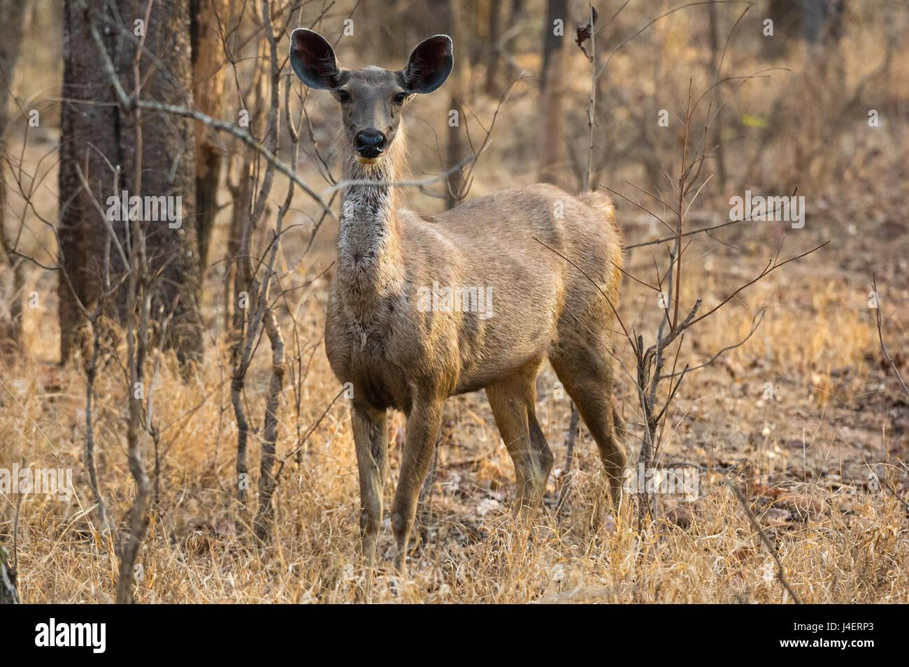 sambar deer (Rusa unicolor), Bandhavgarh National Park, Madhya Pradesh, India, Asia - Stock Image