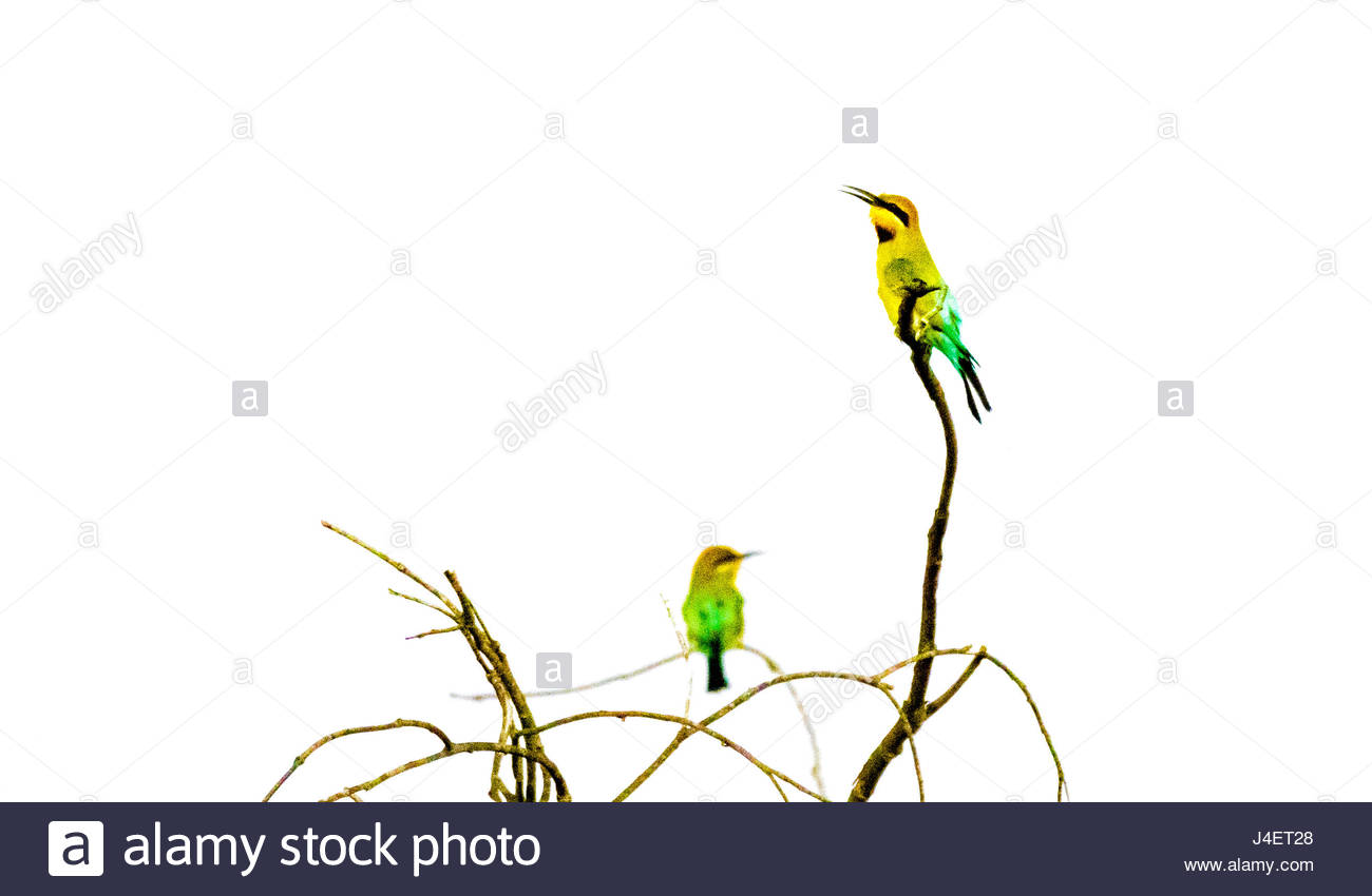 A Rainbow Bee-eaters chirping. - Stock Image