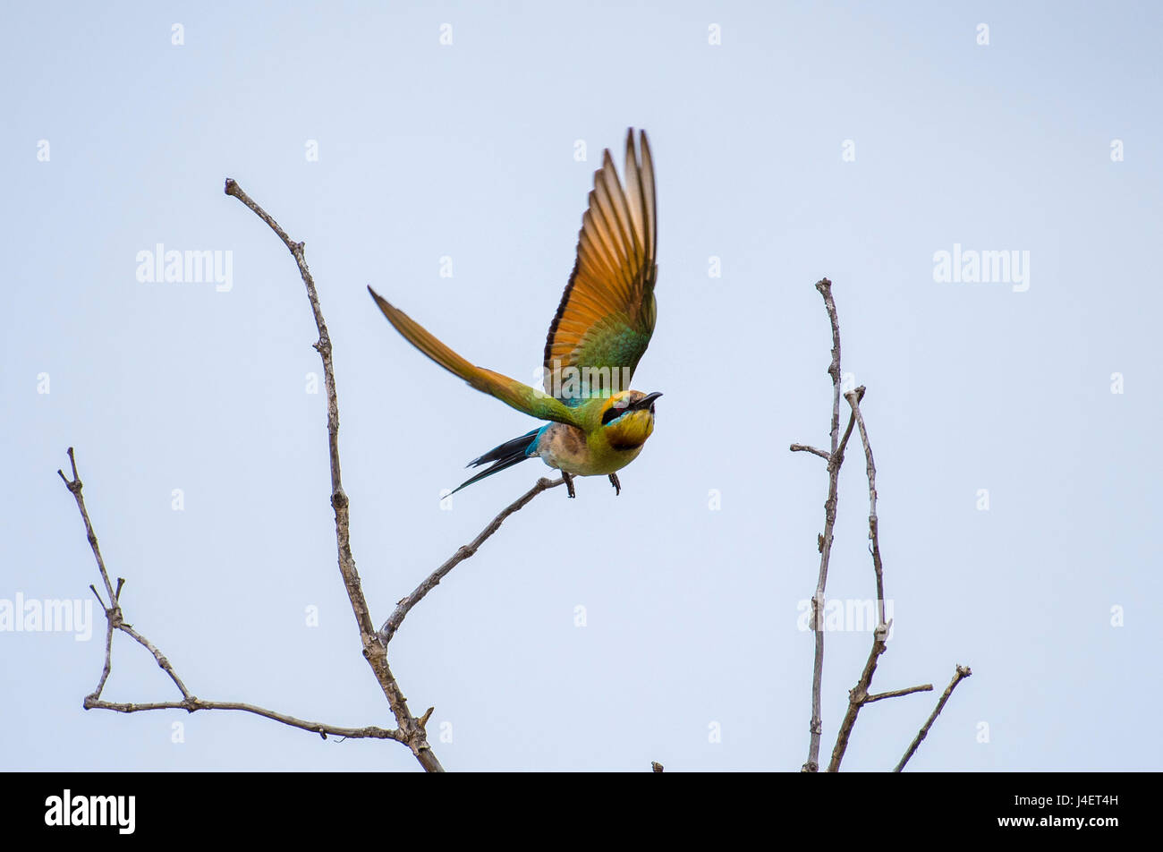 A Rainbow Bee-eater flying - Stock Image