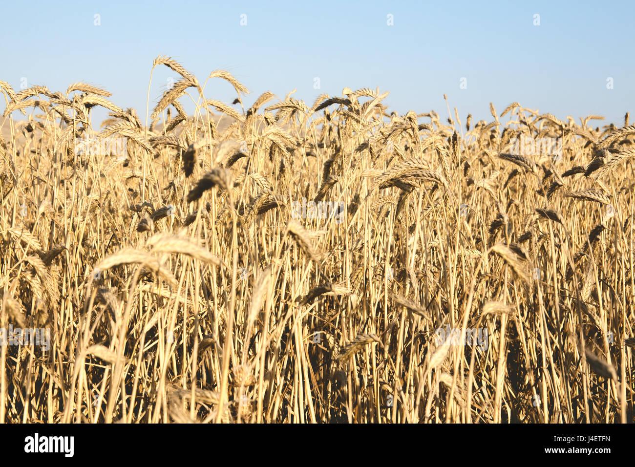 Fields of wheat on a sunny day, landscape orientation. - Stock Image