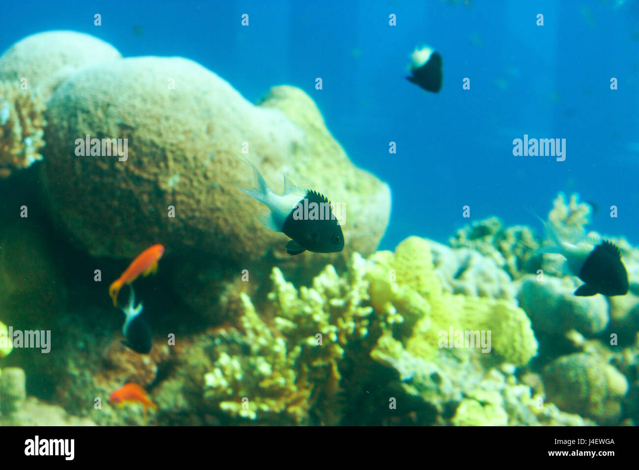 Bicolor Chromis or Chromis margaritifer on a tropical coral reef - Stock Image