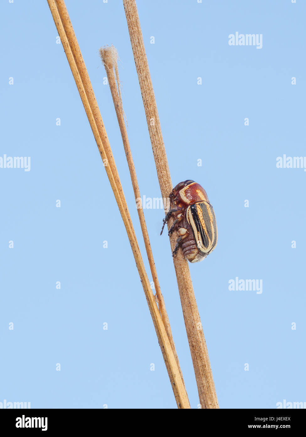 A Scriptured Leaf Beetle (Pachybrachis sp.) perches on a plant stem. - Stock Image