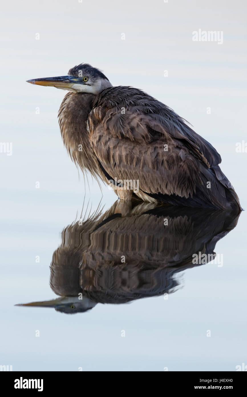 Great Blue Heron (Ardea herodias) in Reflection, St. Marks Wildlife Refuge, Florida - Stock Image