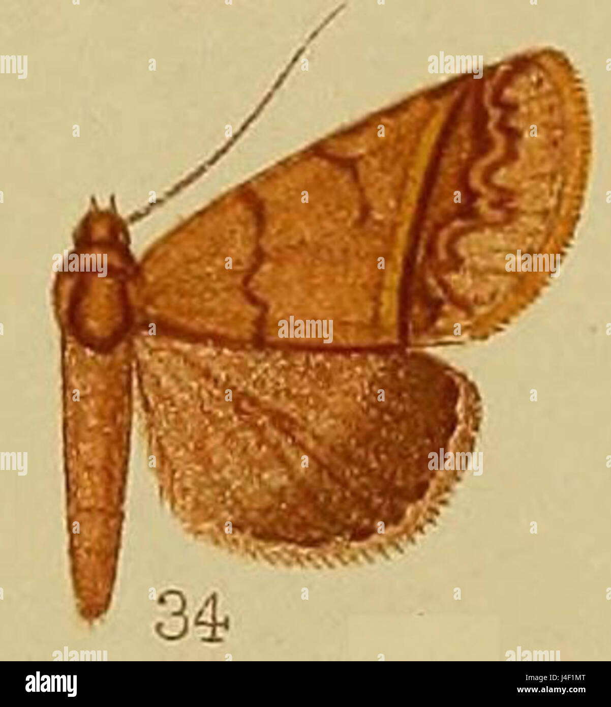 Pl.37 fig.34 Plecoptera thermozona Hampson  1910 - Stock Image