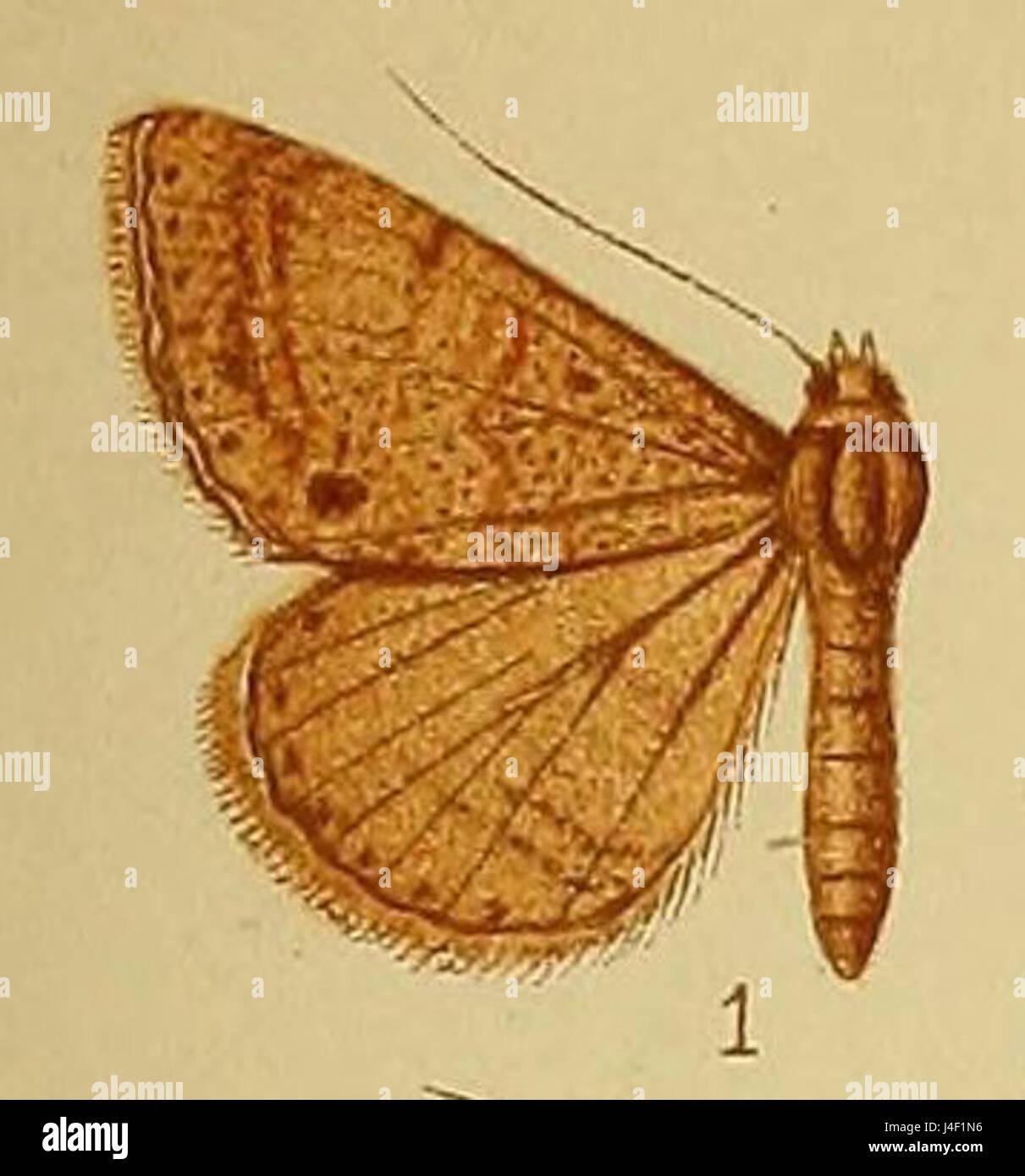 Pl.38 01 Plecoptera grisea Hampson  1910 - Stock Image