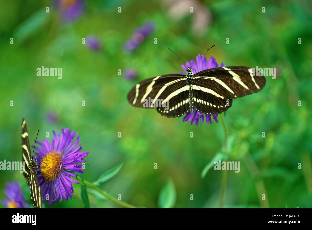 A beautiful photo of a pair of Zebra Longwing Butterflies feeding on nectar from a flower. Residents of the Butterfly - Stock Image