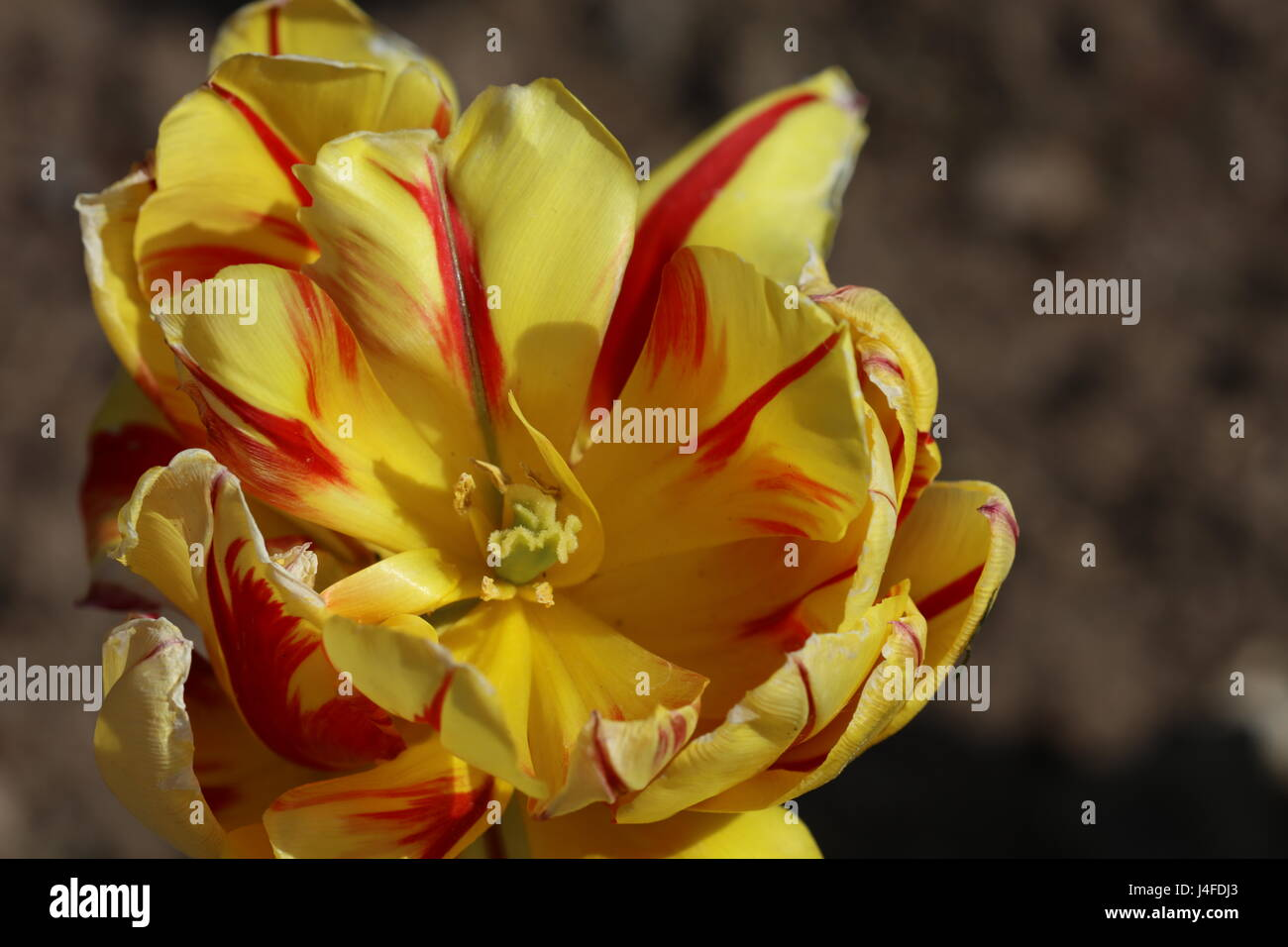 Gelb-rote Tulpe in der Blüte - Stock Image