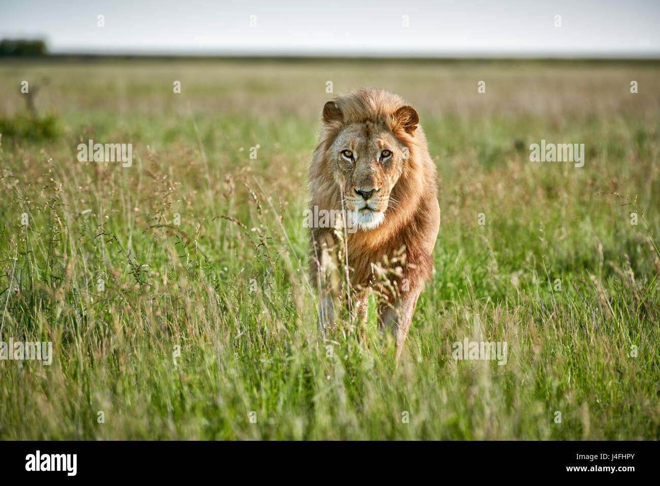 male lion (panthera leo) patrolling through  the area - Stock Image