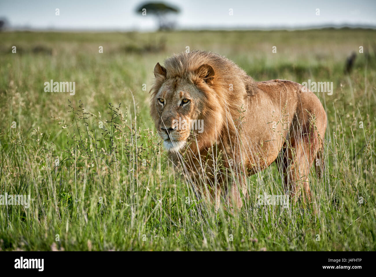 male lion (panthera leo) patrolling through  the area - Stock Image