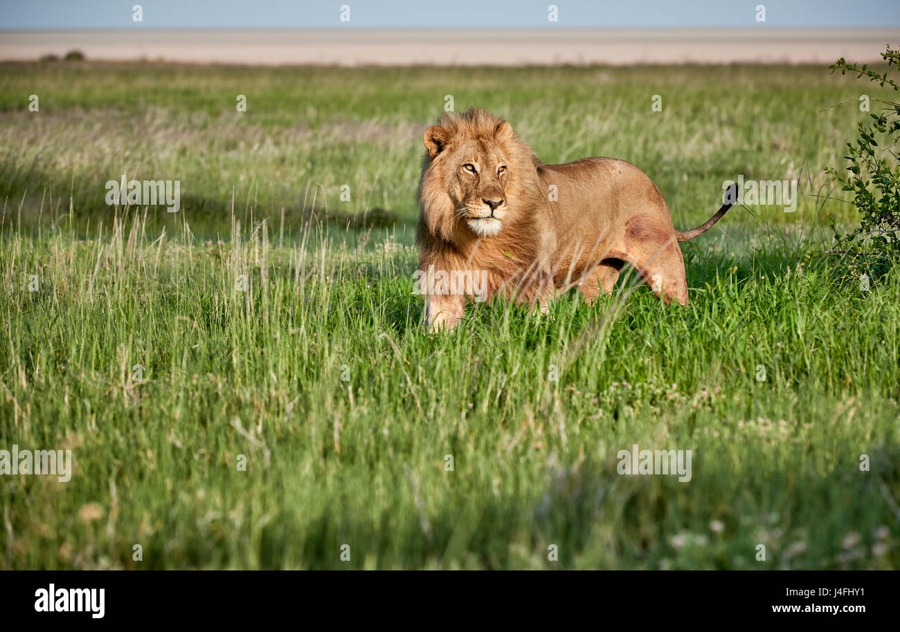 male lion (panthera leo) patrolling through the area, free space at side Stock Photo