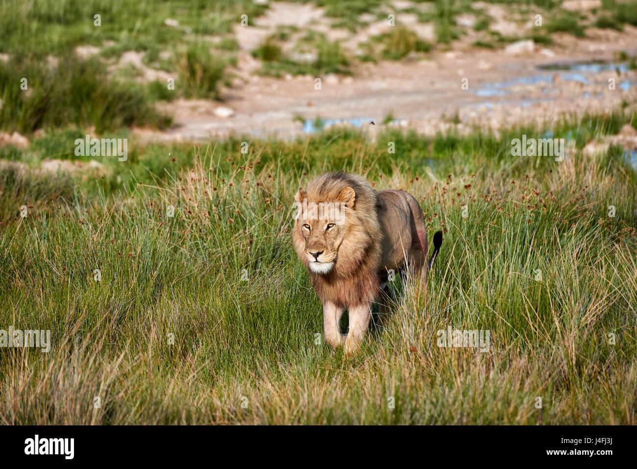 male lion (panthera leo) patrolling through  the area Stock Photo