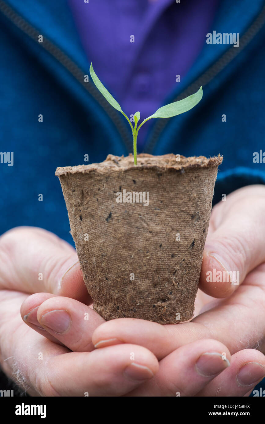 Gardener holding a chilli plant seedling in a small biodegradable plant pot in april. UK - Stock Image