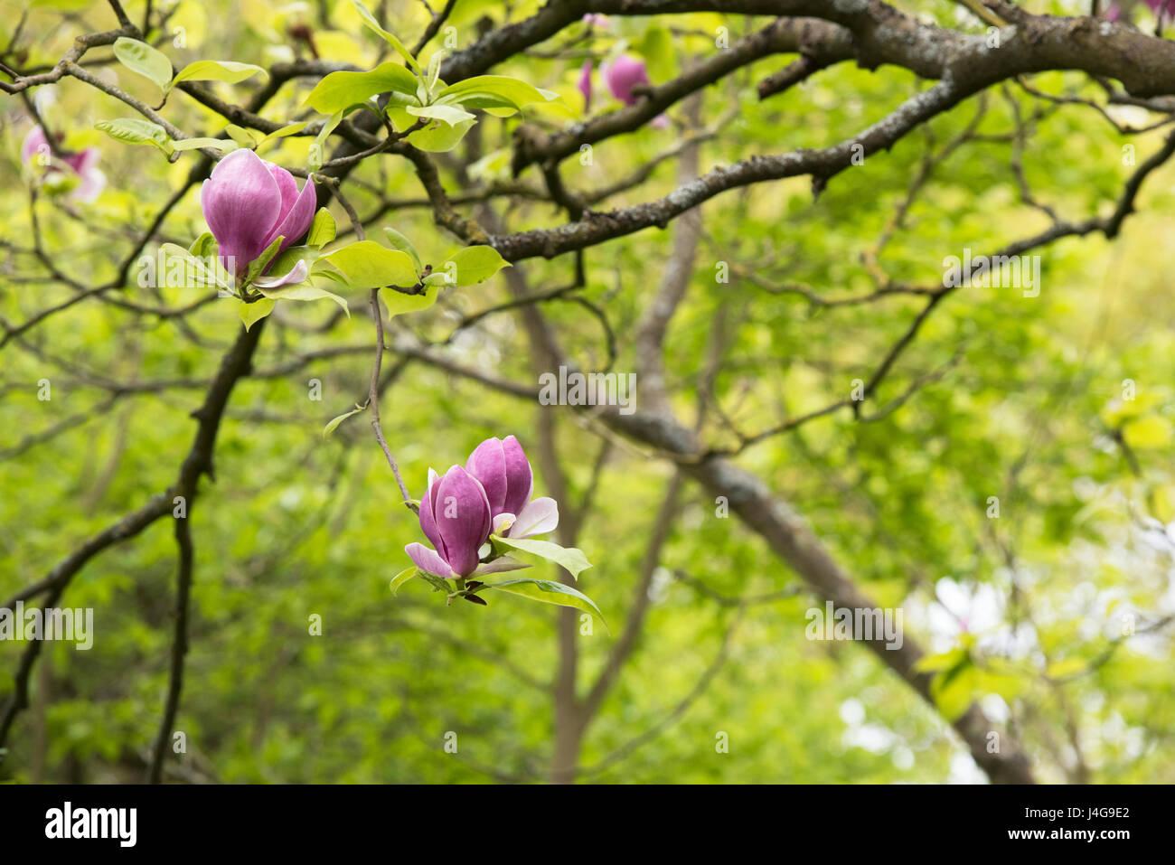 Magnolia X Soulangeana Lennei Saucer Magnolia Lennei Flowers In