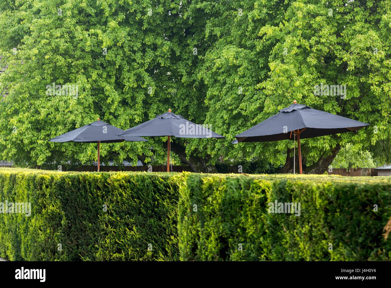 Neatly trimmed leylandii hedge with black garden umbrellas - Cupressus × leylandii - Stock Image