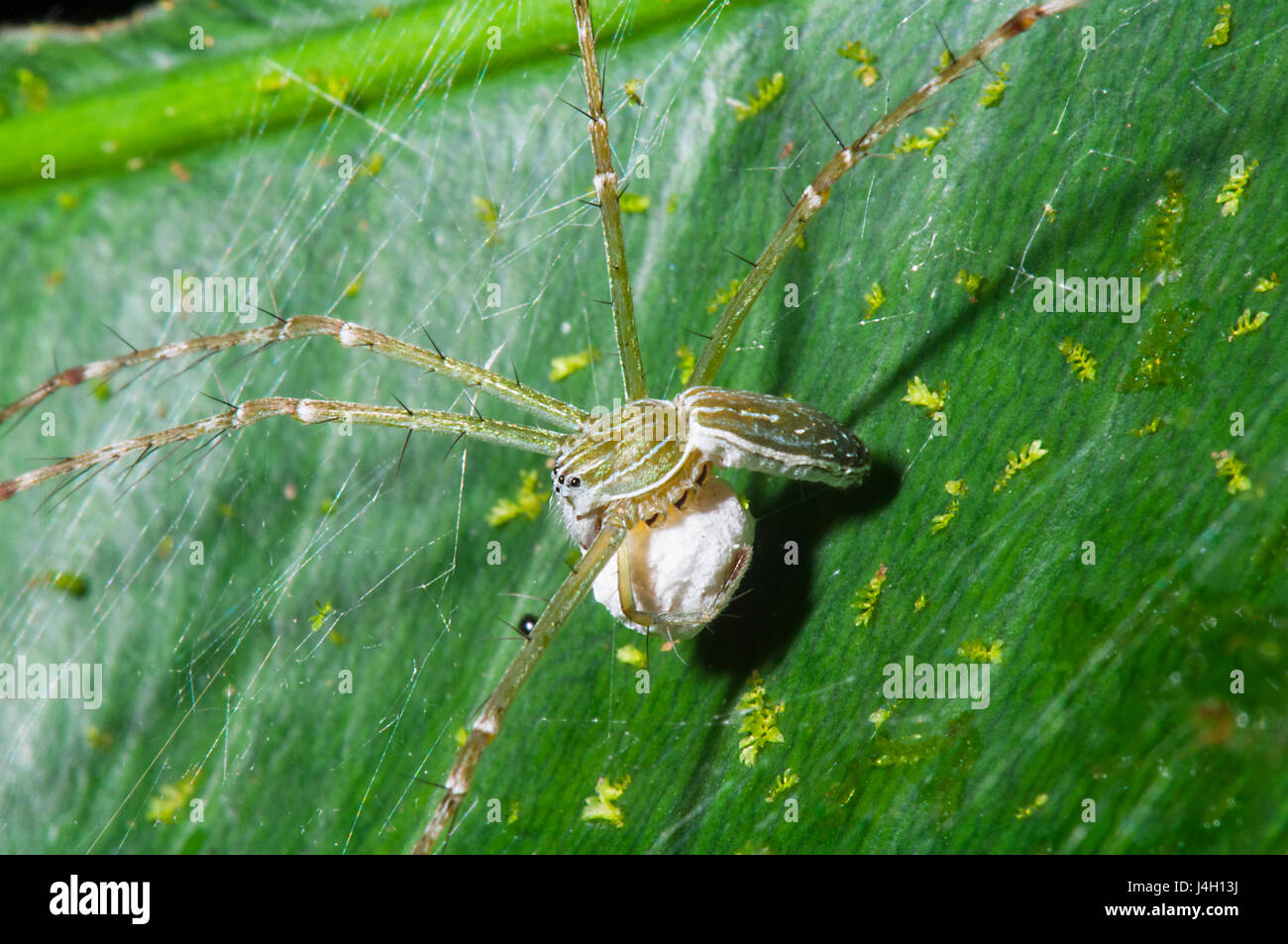 Water Spider (Hygropoda lineata), with egg sac, Far North Queensland, FNQ, QLD, Australia - Stock Image