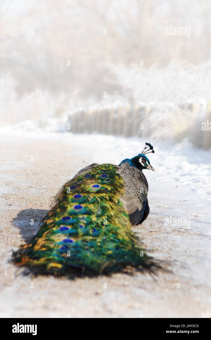 Close-up photo of a colorful male peacock bird standing in a snowy winter garden. - Stock Image