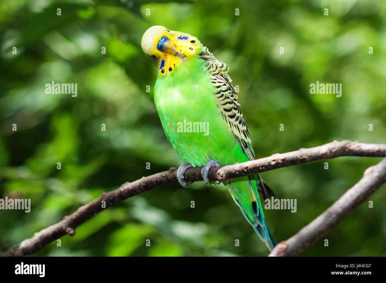 Green Budgerigar (Melopsittacus undulatus) sitting on a branch. - Stock Image