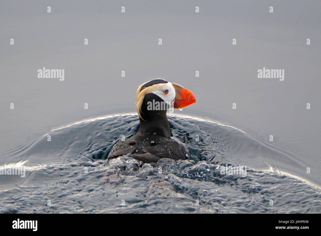 A tufted puffin seabird swims through the waters at Dutch Harbor November 23, 2016 in the Aleutian Islands, Alaska. - Stock Image