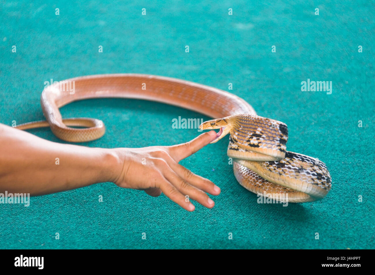 human finger in his mouth an aggressive snake. - Stock Image