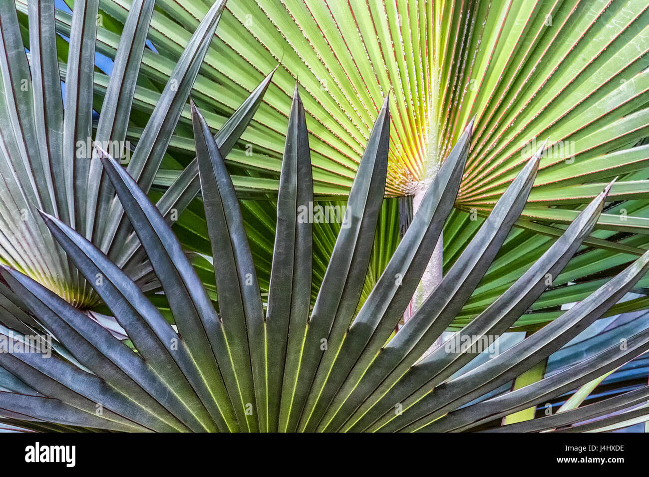 Closeup of palmetto leaves in Floirda - Stock Image