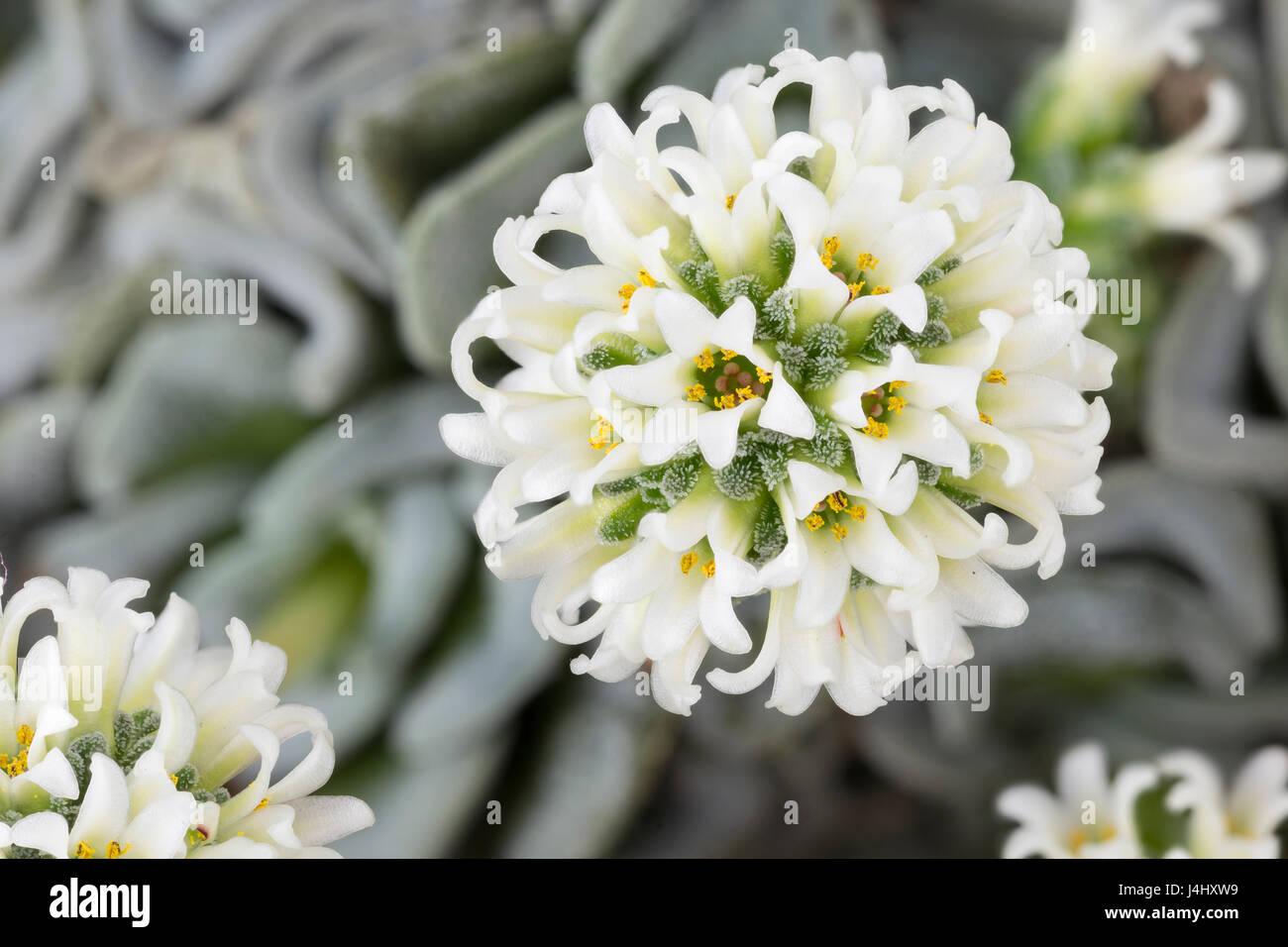 Crassula 'Celia' hybrid between Crassula mesembryanthemopsis and Crassula susannae. Focus-stacked image. - Stock Image