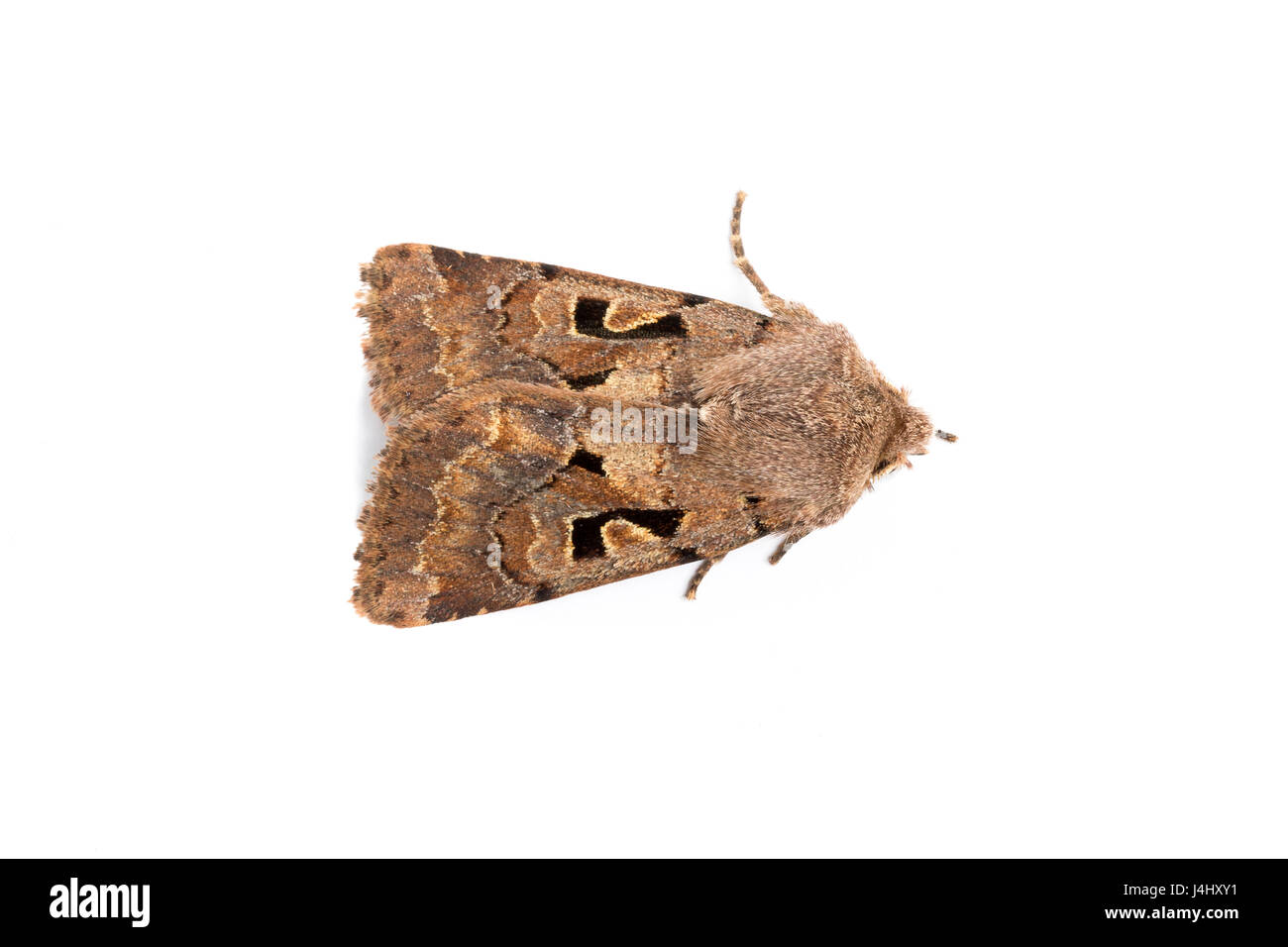 Hebrew Character moth, Orthosia gothica,  family Noctuidae.  On white background. Monmouthshire, March. Focus stacked - Stock Image