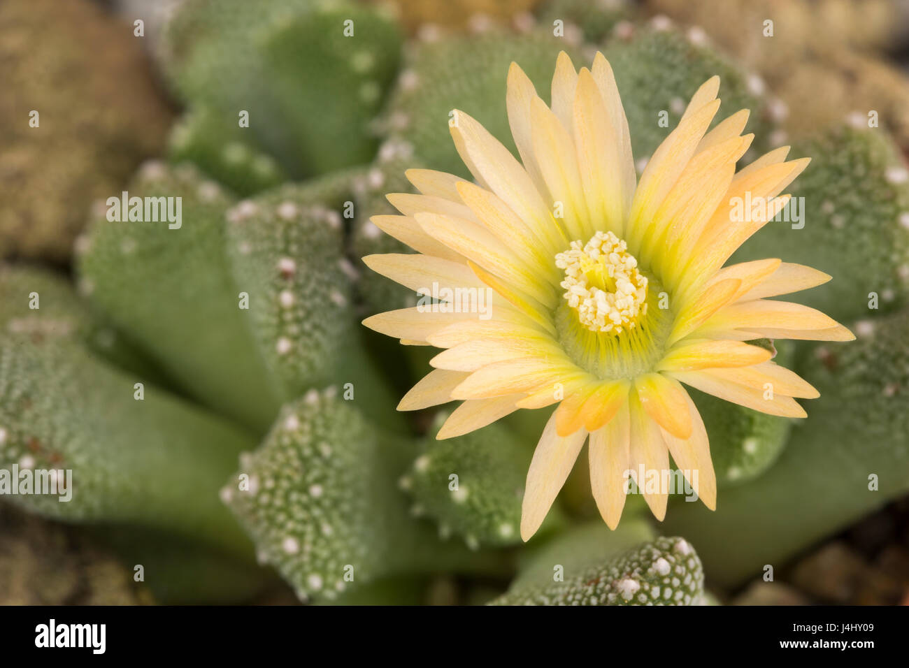 Aloinopsis luckhoffii, a stone-mimic succulent, Cape Prov. South Africa (in cultivation). Family: Mesembryanthemaceae - Stock Image