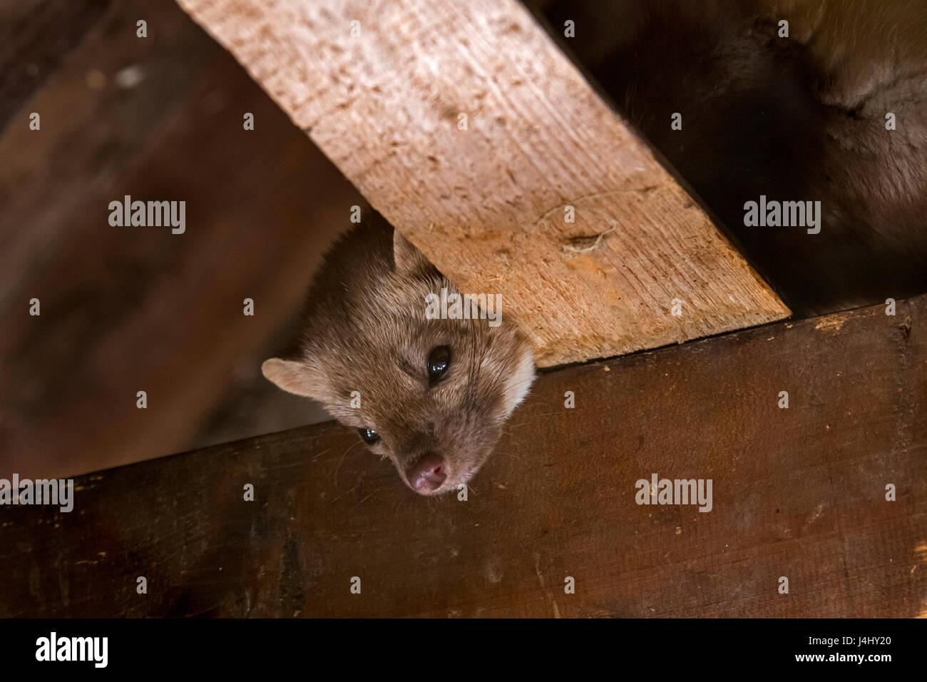 Beech marten / stone marten / house marten (Martes foina) foraging on beams in ceiling of attic - Stock Image