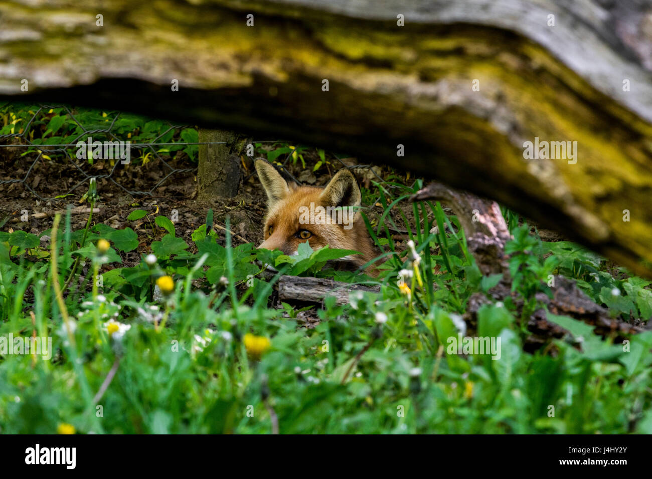 Hunting red fox (Vulpes vulpes) digging under chicken wire fence and stalking prey Stock Photo