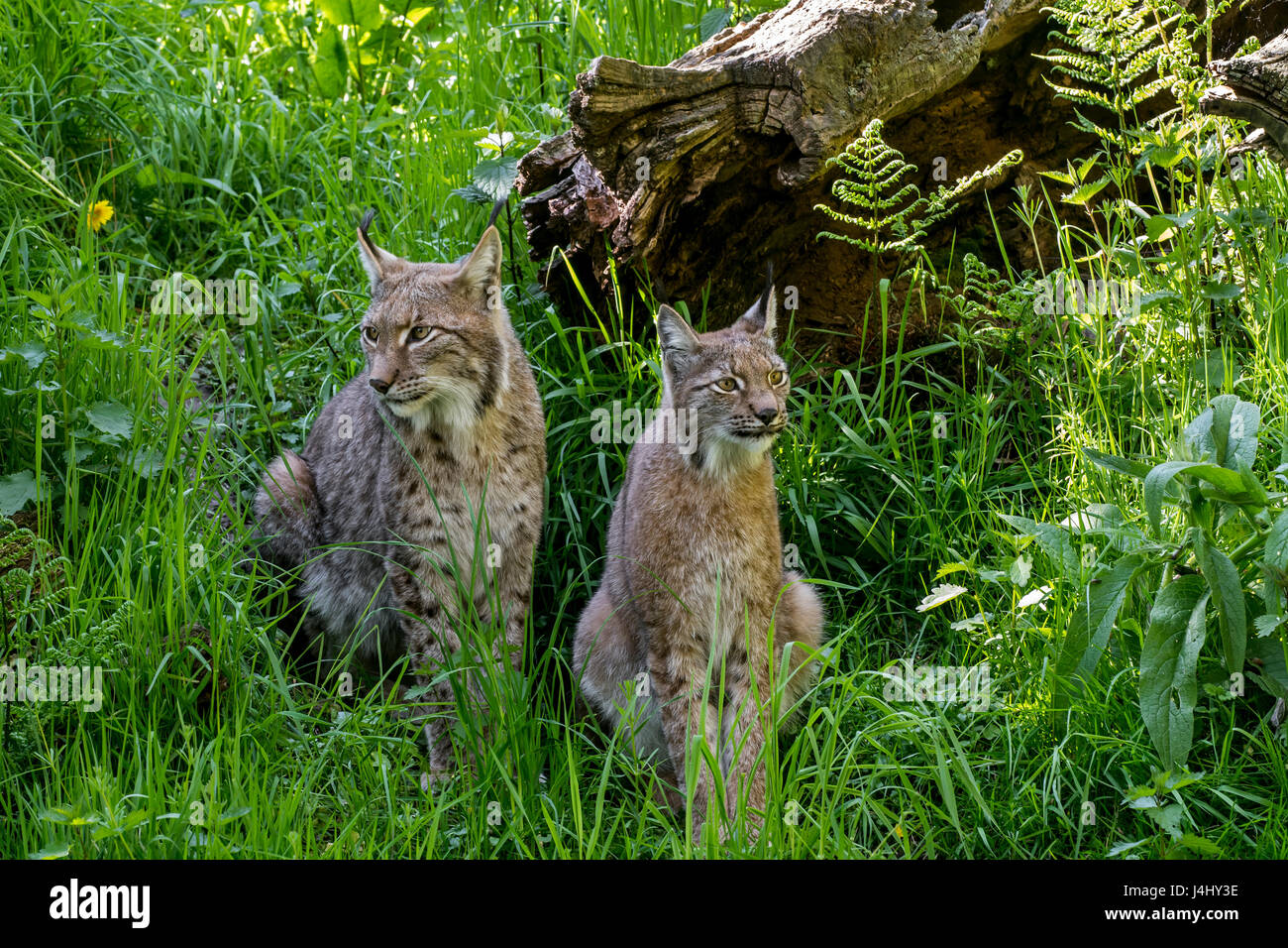 Two Eurasian lynxes (Lynx lynx) male and female sitting in grassland Stock Photo