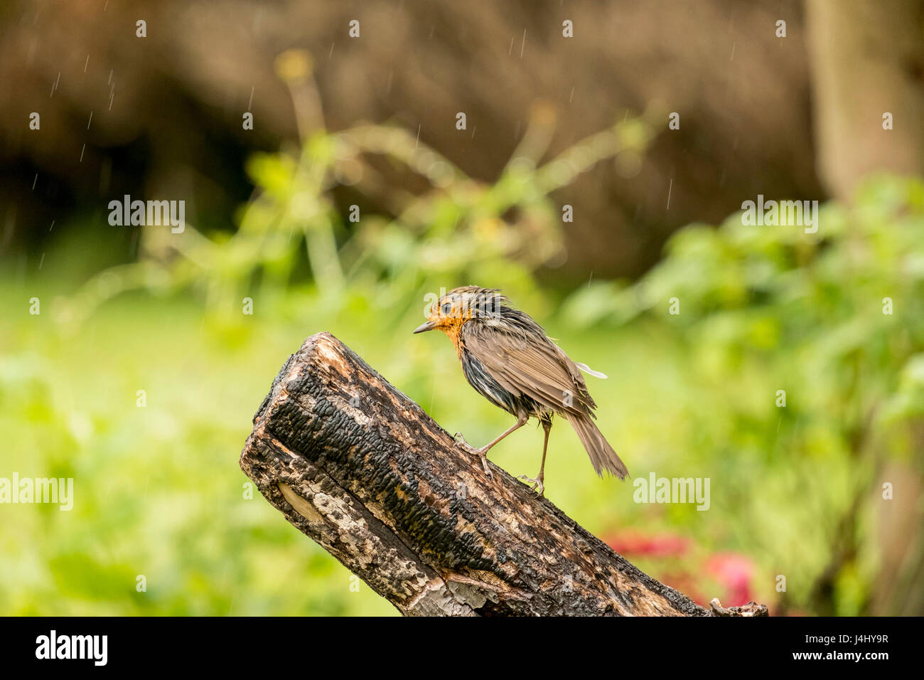 European robin erithacus rubella standing on log in domestic garden in the pouring rain - Stock Image