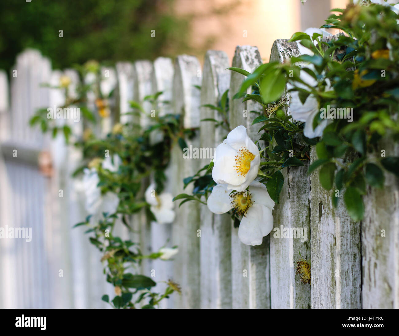 White flowers and vine on white picket fence stock photo 140536576 white flowers and vine on white picket fence mightylinksfo