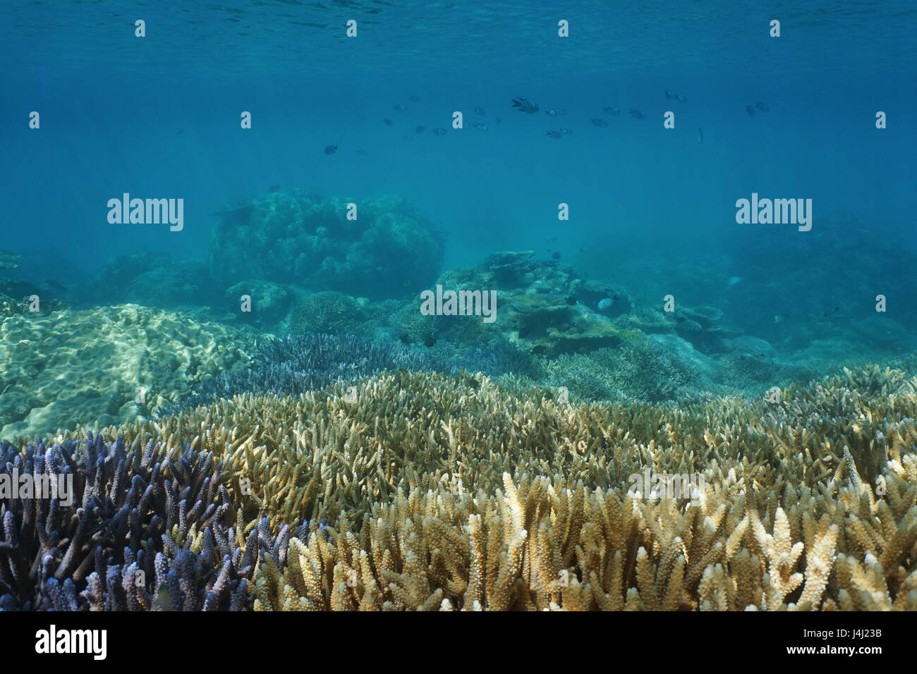Underwater coral reef in healthy condition, south Pacific ocean, New Caledonia - Stock Image