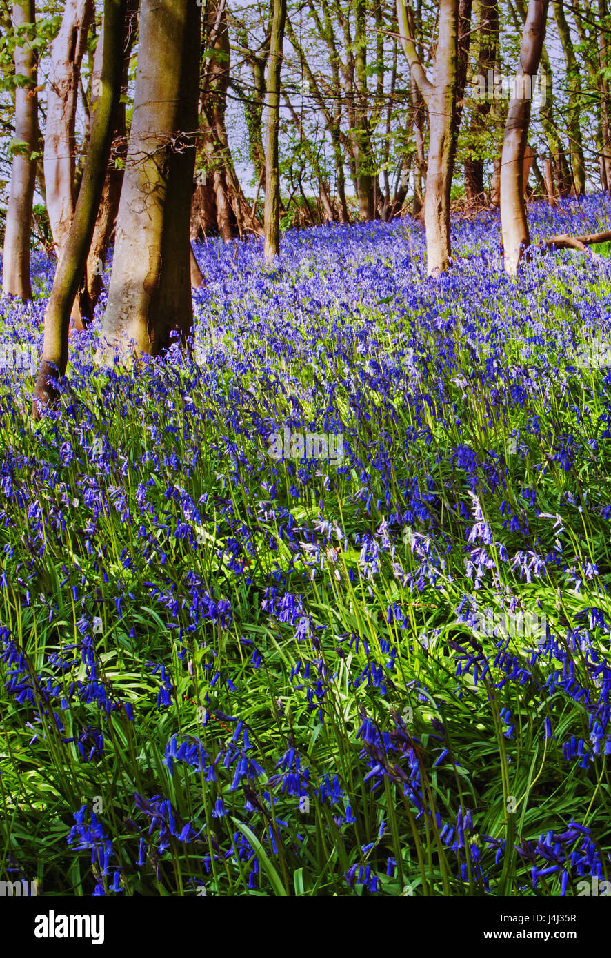 wild bluebells in portrait format, pictured in woodland at Claughton, Lancashire - Stock Image