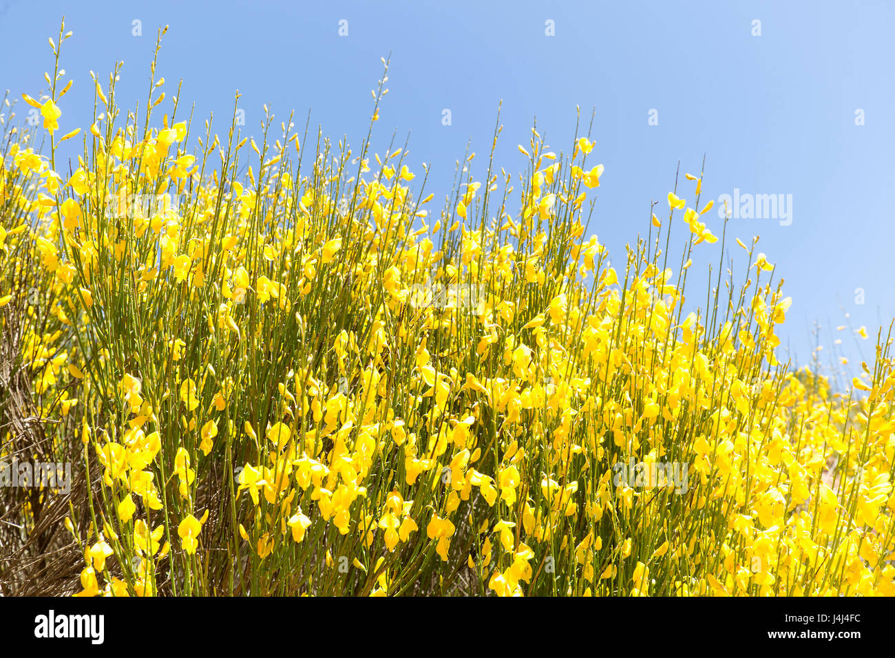Hiniesta In Spring With Its Yellow Flowers Scientific Name Is Stock