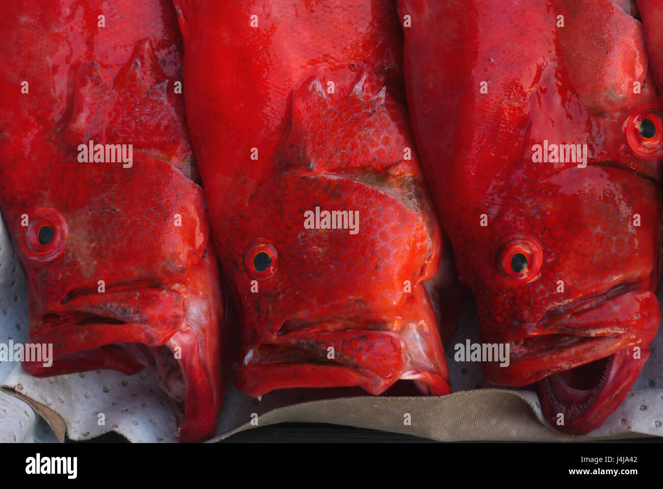 Three sea bright red fish with a wide open mouth lying on a tray for ...