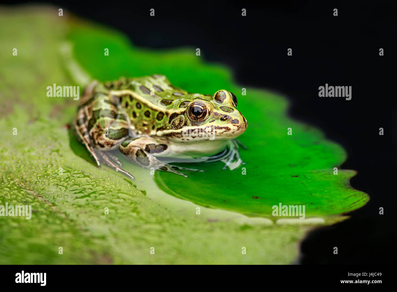 A Northern Leopard Frog on a lily pad, close up - Stock Image