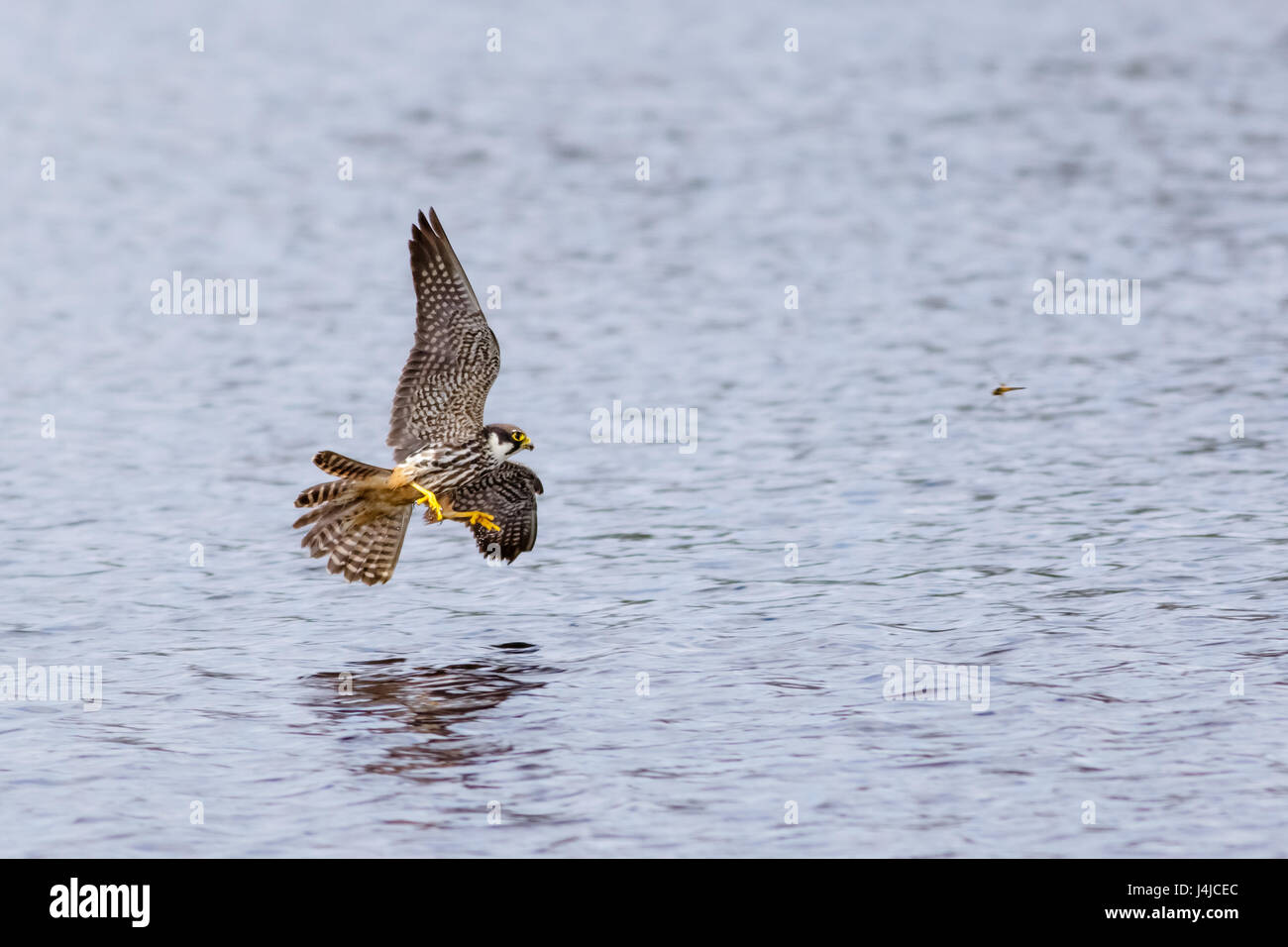 Eurasian Hobby falcon (Falco Subbuteo) flying, in flight, hunting dragonflies dragonfly low over water - Stock Image