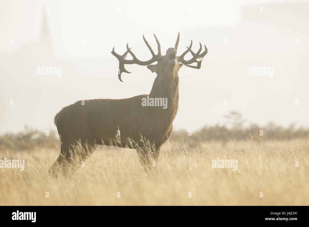 Red Deer rut stag (Cervus elaphus) bellowing or roaring on a misty morning among long grass - Stock Image