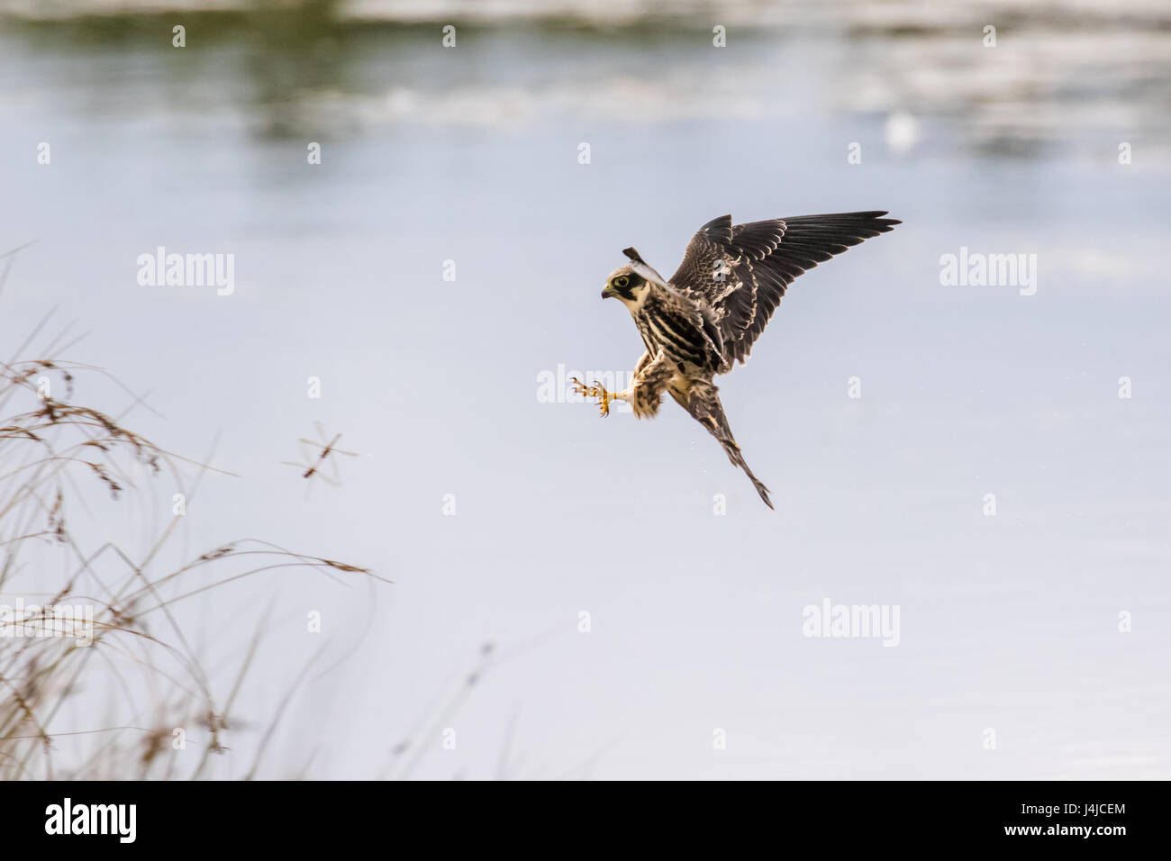 Eurasian Hobby falcon (Falco subbuteo) flying, in flight, catching predating dragonflies dragonfly over pond in - Stock Image