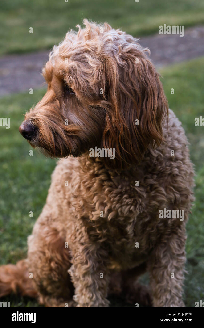 Golden doodle puppy - Stock Image