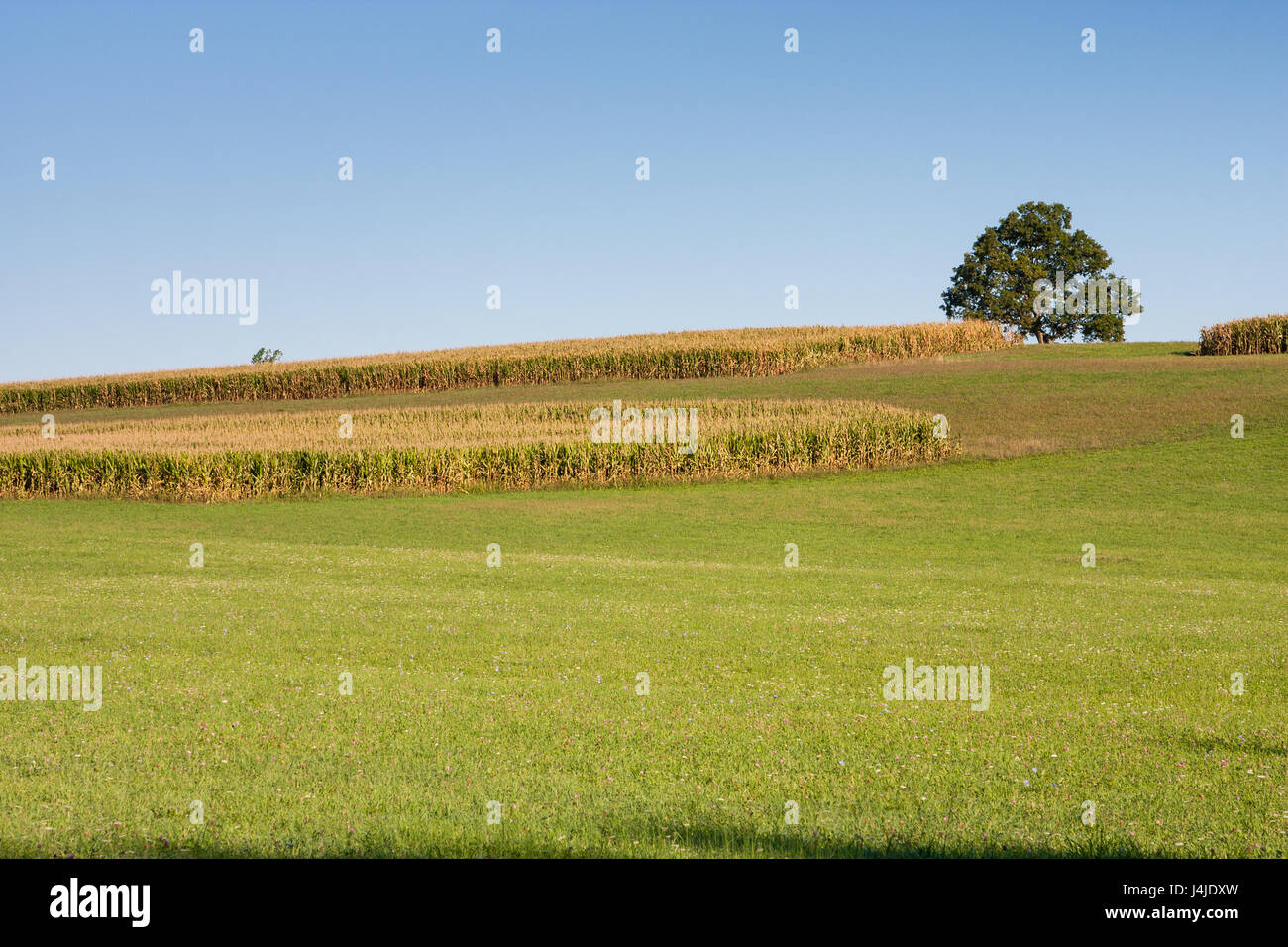 Countryside of ripe corn and one maple tree against blue sky - Stock Image